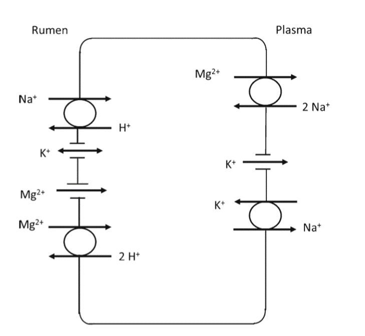 Model of Magnesium absorption across the rumen epithelium