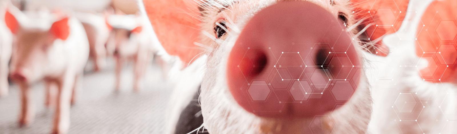 Gastric Ulcers Swine Nutrition