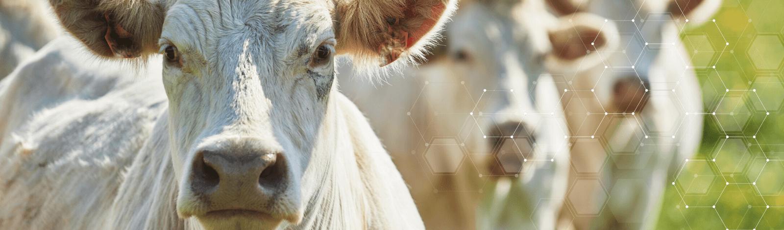 Charolais beef cattle